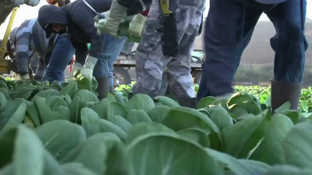 Shortage of farm workers leaving entire fields in California, other states to rot
