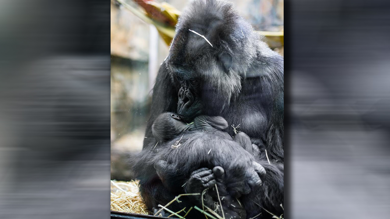 toledo zoo welcomes baby gorilla