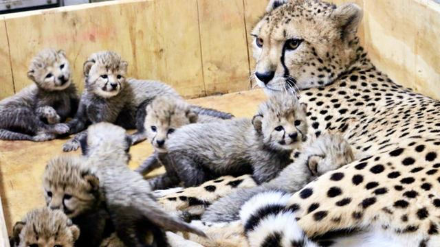 Mother Cheetah Gives Birth to 8 Cubs - Double the Size of a Normal Litter