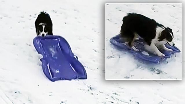 This Dog Learned How to Sled on Her Own, Just in Time for the Snow