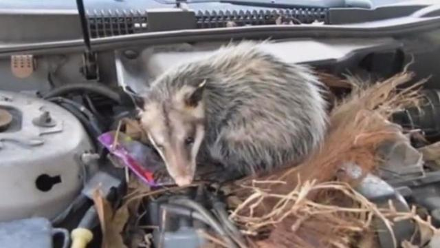 Car Creatures: The Animals That May Be Lurking Under the Hood