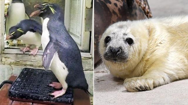 Penguins and Seals Hit the Scales Just in Time to Set New Year's Resolutions