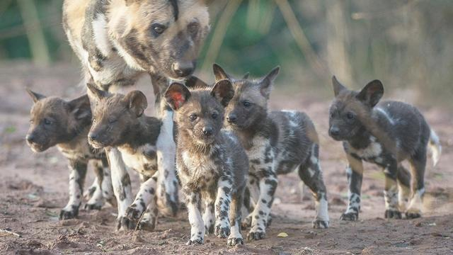Newborn Rare African Painted Puppies Explore Their Surroundings With Mom