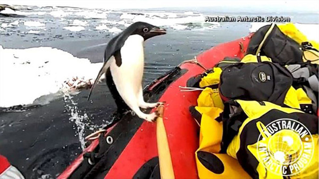 VIDEO: Penguin jumps in researchers' boat