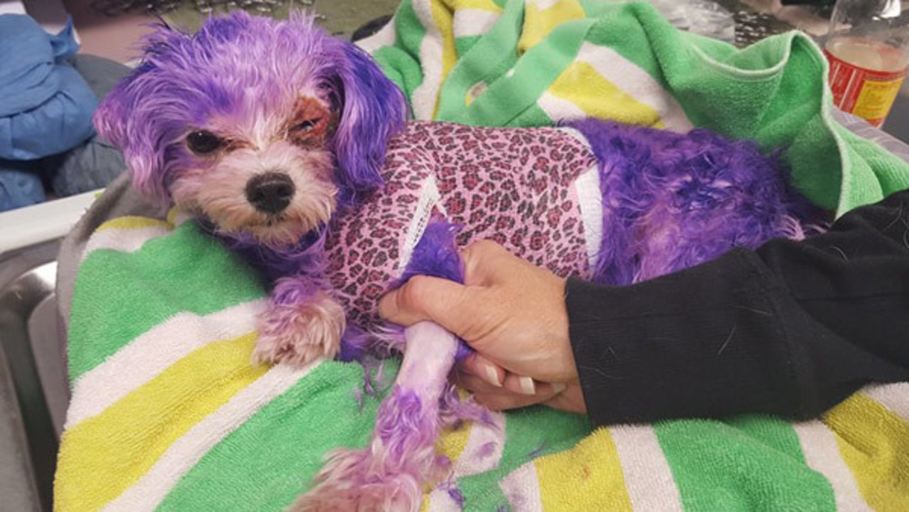 PHOTOS: Dog named Violet almost dies from burns caused by hair dye ...