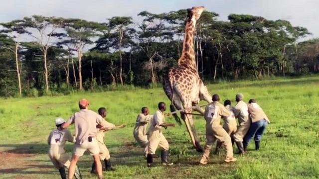 Giraffe Saved in Daring Rescue After Metal Wire Is Wrapped Around Its Neck