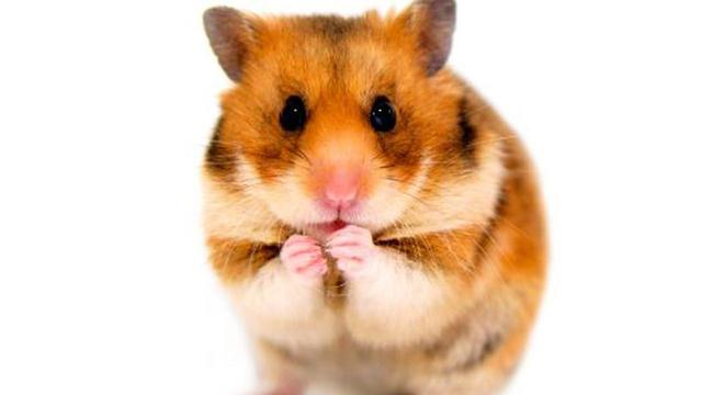 College Student Claims Spirit Air Told Her to Flush Comfort Hamster Down Toilet