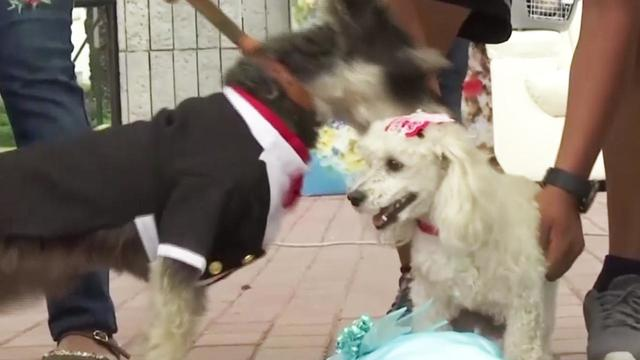 Dogs Don Gowns and Tuxedos During Valentine\'s Day Wedding Ceremony