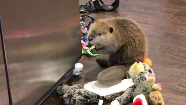 Dam Clever: Rescue Beaver Builds Barricade Out of Stuffed Animals