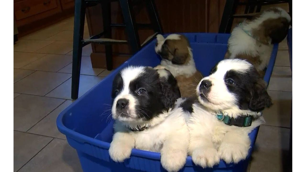 St Bernard Puppies Rescued Now Ready For Adoption