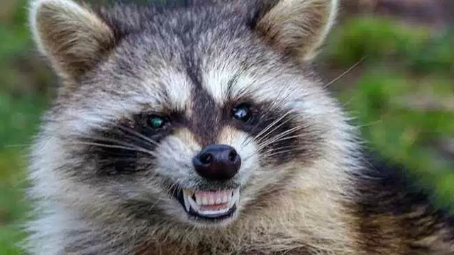 Reports of 'zombie-like' raccoons puzzle police in Ohio