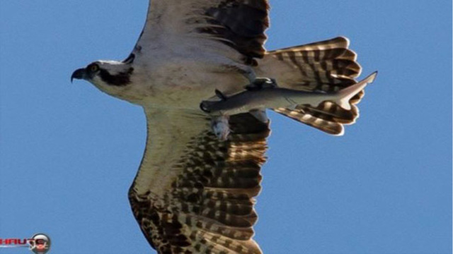 WOW: Photographer snaps osprey carrying shark with fish in its mouth