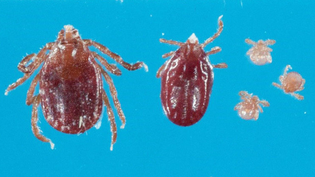 Exotic tick found in West Virginia, Department of Agriculture says