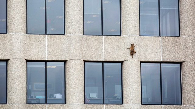 Heroic raccoon scales office tower, captivating public