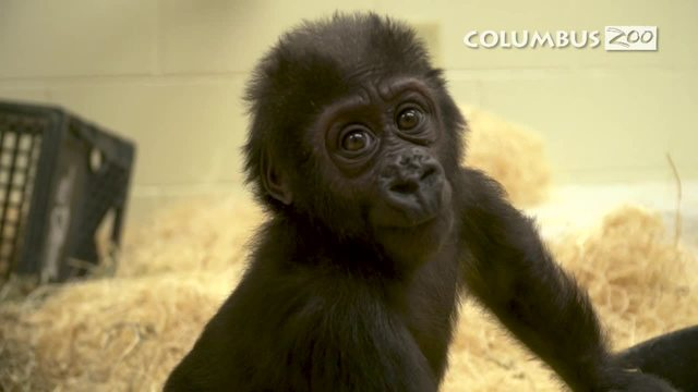 Keepers hope orphan gorilla Zahra warms quickly to new family in Columbus