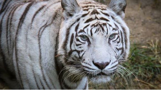 Cincinnati Zoo's last white tiger has been euthanized due to age-related issues